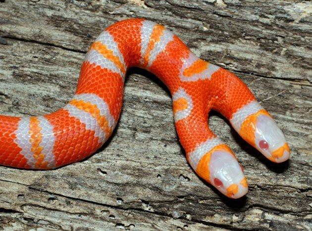 amazing-two-headed-milk-snake